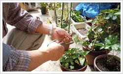 剪定・植木庭木手入れ方法4・郡山市のシルバー人材事業