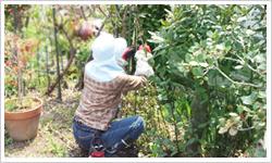 郡山市シルバー人材シニア事業植木庭木手入れ・剪定方法2