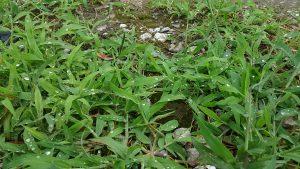梅雨時期の庭の雑草